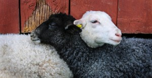 sheep-703626_1920